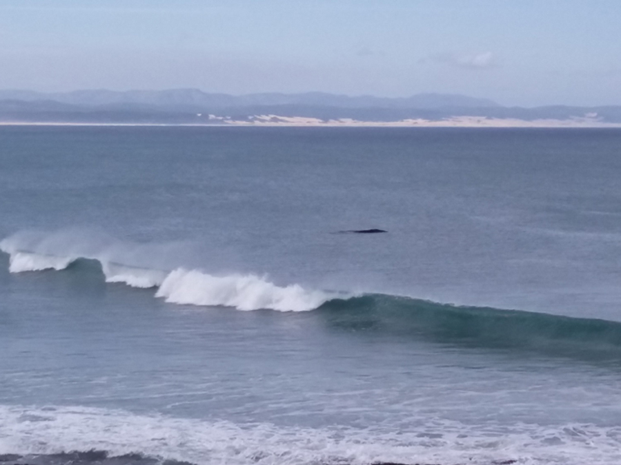 The dolphins will still be here surfing amongst the surfers in the morning and the evening.